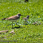 Mother Killdeer and Chick